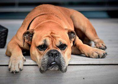 perros-boxer