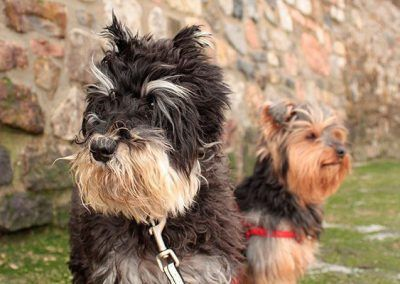 perros-snauzer