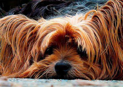 perros-yorkshire